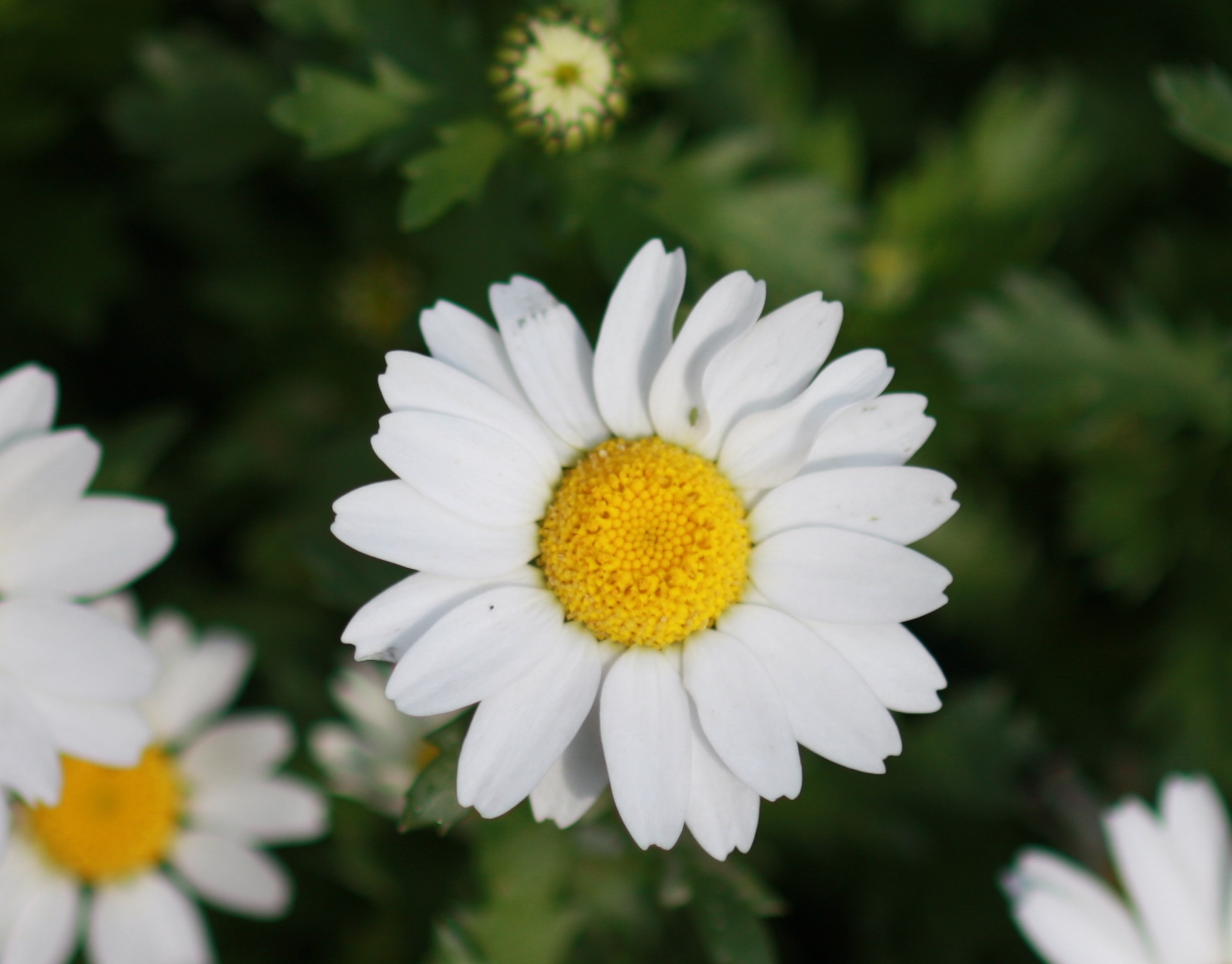 花 言葉 マーガレット